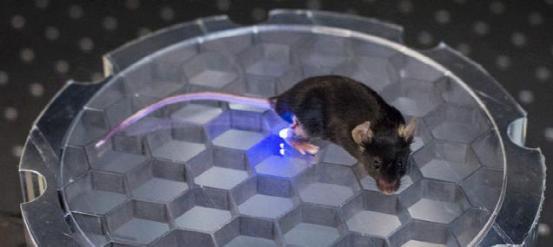 新研究:用芯片来控制老鼠的活动