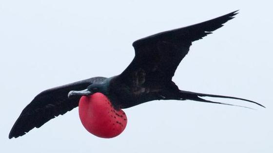 惊!鸟类可以在空中一边睡觉一边飞翔